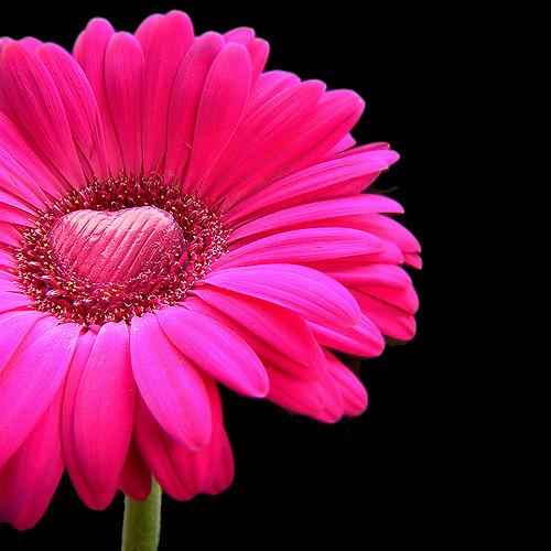 Pink Valentines Day Flower Macro